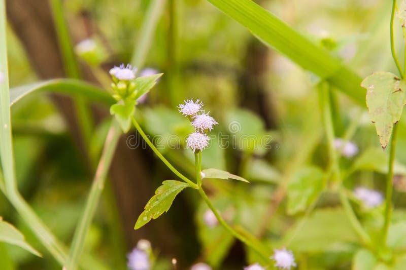 Mala hierba de Tailandia fotos de archivo