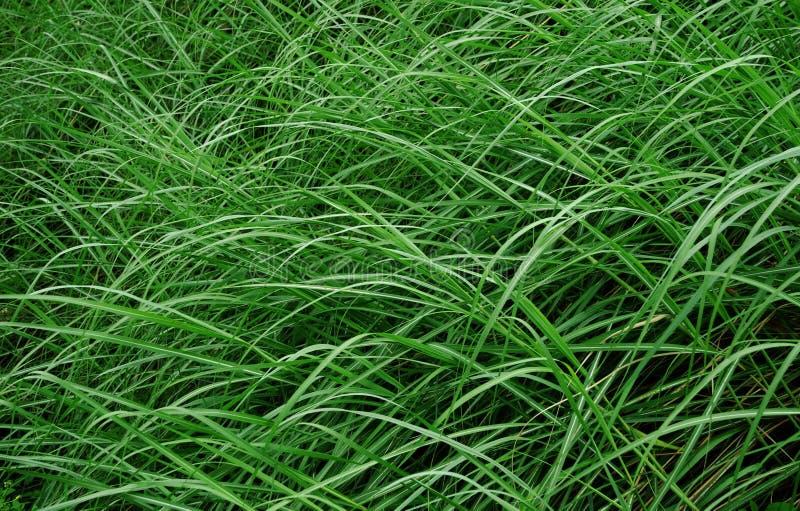 Mala hierba en el viento foto de archivo libre de regalías