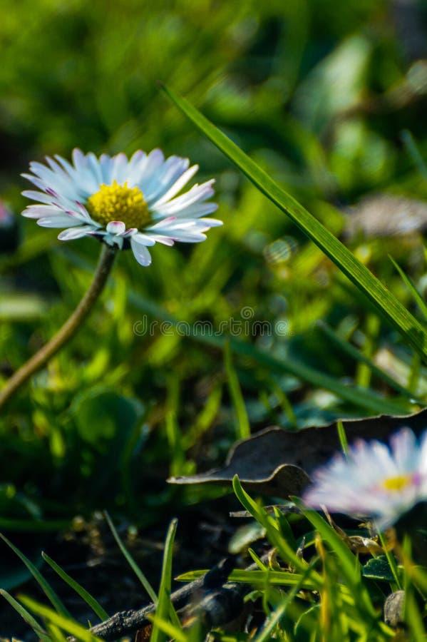 Mala hierba florecida blanca foto de archivo libre de regalías