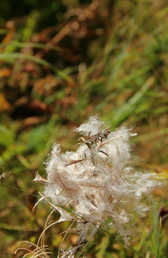 Mala hierba Seedpods del fuego imagen de archivo