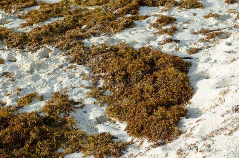 Mala hierba verde del mar del musgo en la playa foto de archivo