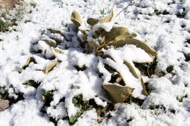 Mala hierba y nieve fotos de archivo libres de regalías