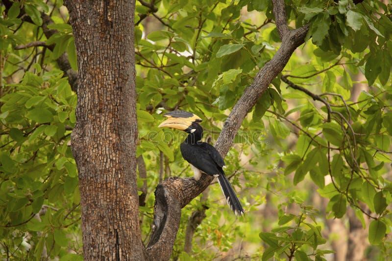 Malabar bonte hornbill, Anthracoceros-coronatus, Pench Tiger Reserve, Madhya Pradesh, India stock afbeeldingen