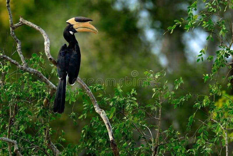 Malabar Bonte Hornbill, Anthracoceros-coronatus, vogel met grote rekening, bossen van Sri Lanka, Azië Het wildscène van Sri Lanka royalty-vrije stock afbeeldingen