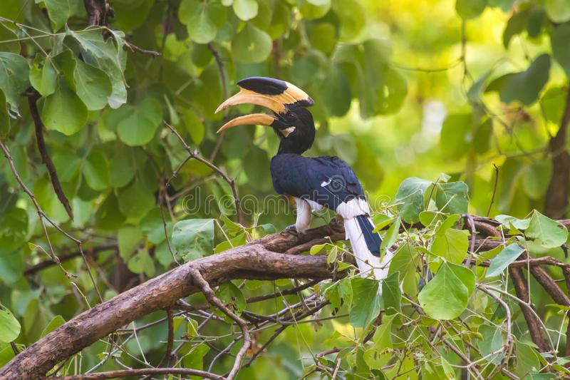 Malabar Bonte Hornbill in Bandhavgarh stock foto