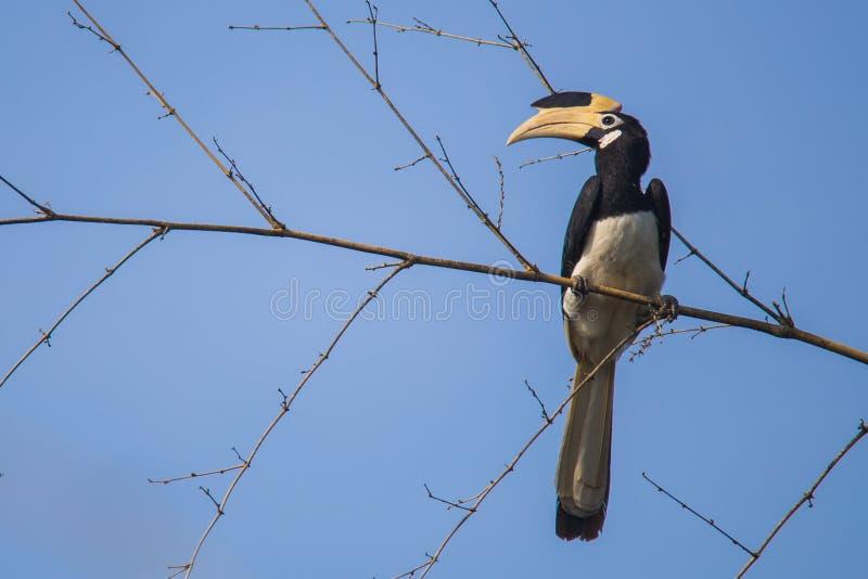 Malabar bonte hornbill op bamboe stock foto