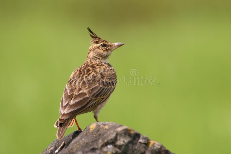 Malabar crested lark stock images