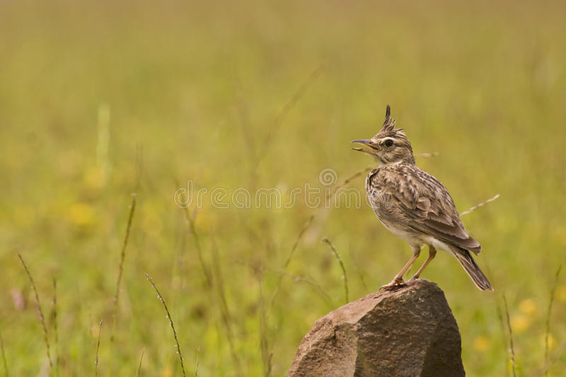Download MALABAR CRESTED LARK Royalty Free Stock Images - Image: 22233749