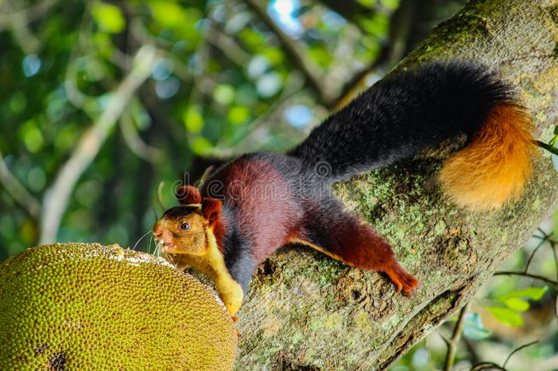 Malabar giant squirrel. A giant squirrel eating a jackfruit royalty free stock photography
