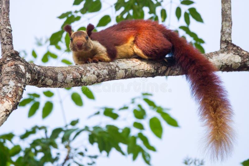 Malabar giant squirrel stock photo