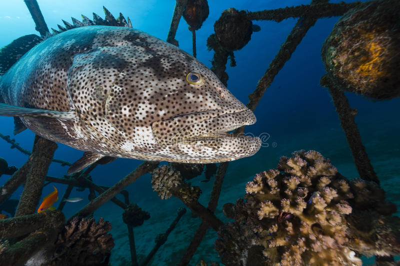A Malabar grouper (epinephelus malabaricus) royalty free stock photos