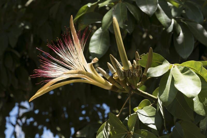 Malabar kastanj i blomma royaltyfria foton