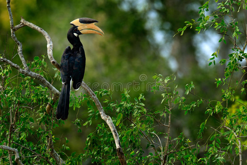 Malabar Pied Hornbill, Anthracoceros coronatus, bird with big bill, forests of Sri Lanka, Asia. Wildlife scene from Sri Lanka. Bir. Malabar Pied Hornbill royalty free stock images