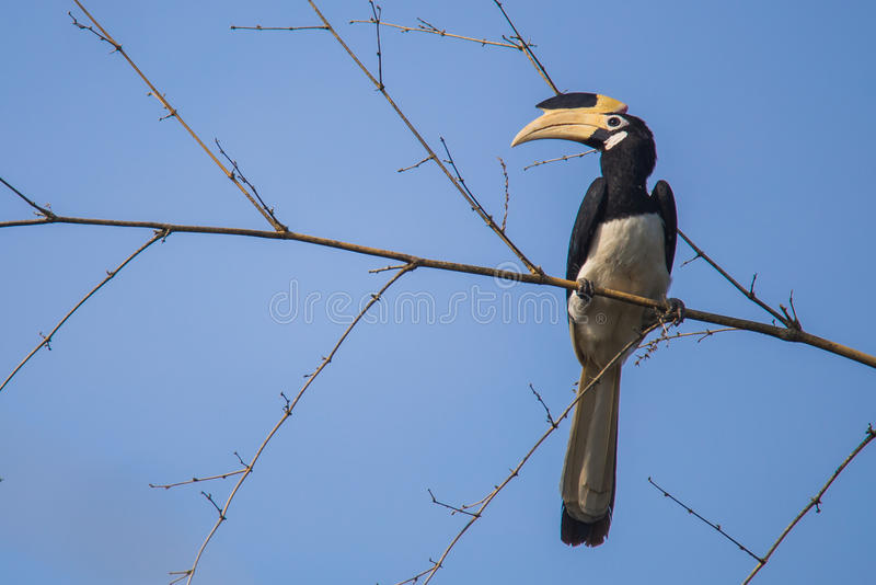 Malabar pied hornbill on bamboo. Malabar pied hornbill sitting on a branch. Canon 6D 550mm f6 1/2500 ISO 500 stock photo