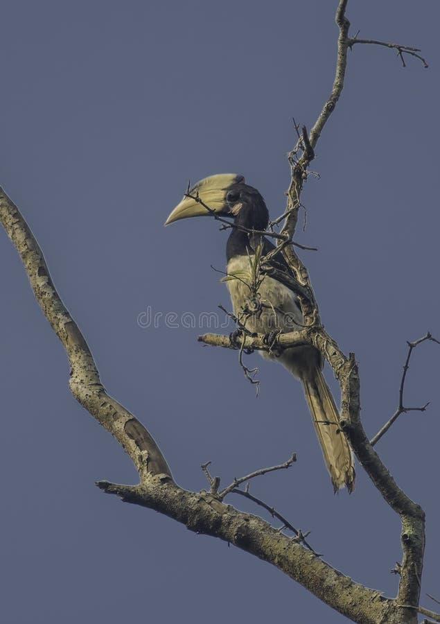 Malabar Pied Hornbill bird stock photo