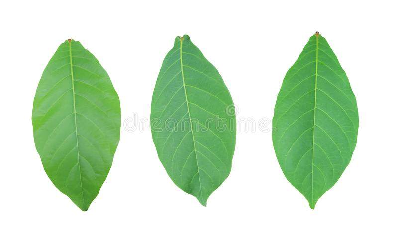 Malabar or Terminalia catappa of green Leaves isolated on white royalty free stock photography