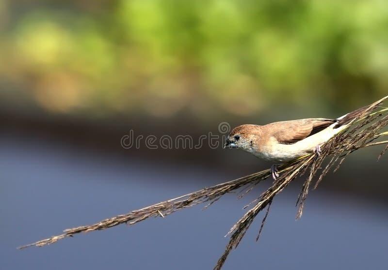 Malabarica de lonchura de Silverbill dans une brindille photo libre de droits