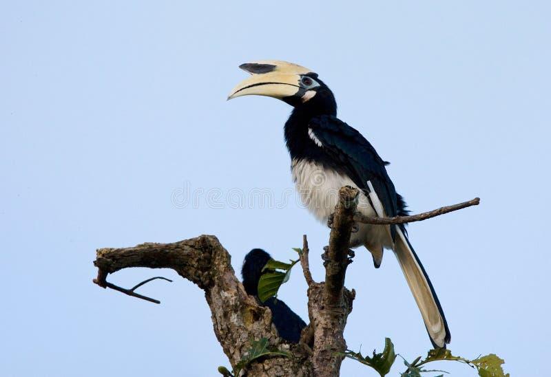 Malabarneushoornvogel, Malabar Bonte Hornbill, Anthracoceros-coro stock foto's