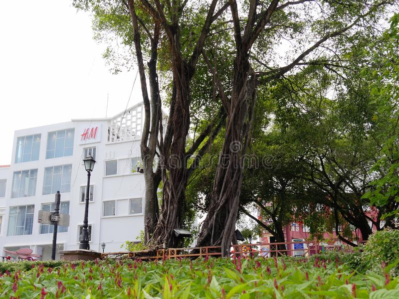 Malacca, Malaysia--February 2018: Tall trees growing in a garden across from modern buildings near the Dutch Square in Malacca, royalty free stock images