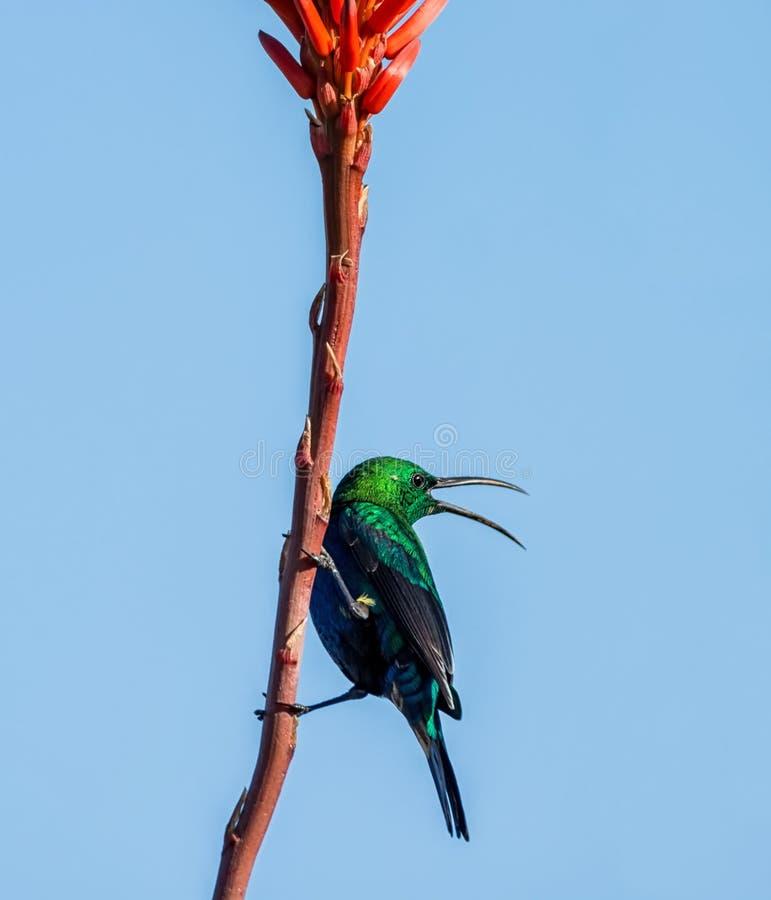 Malachiet Sunbird stock foto's