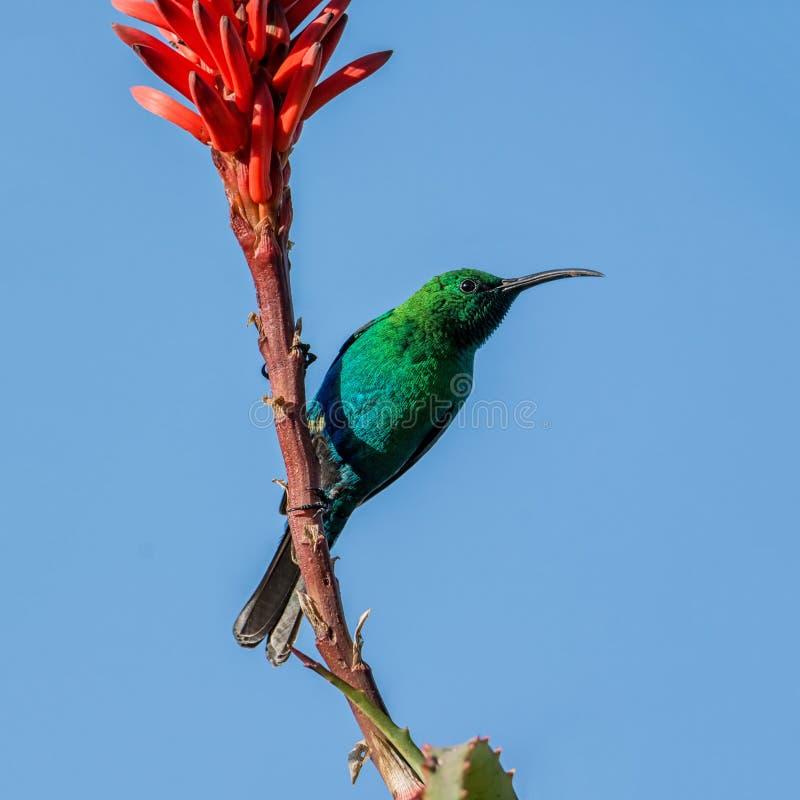 Malachiet Sunbird stock fotografie