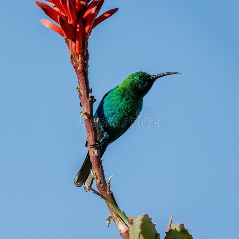 Malachiet Sunbird royalty-vrije stock foto