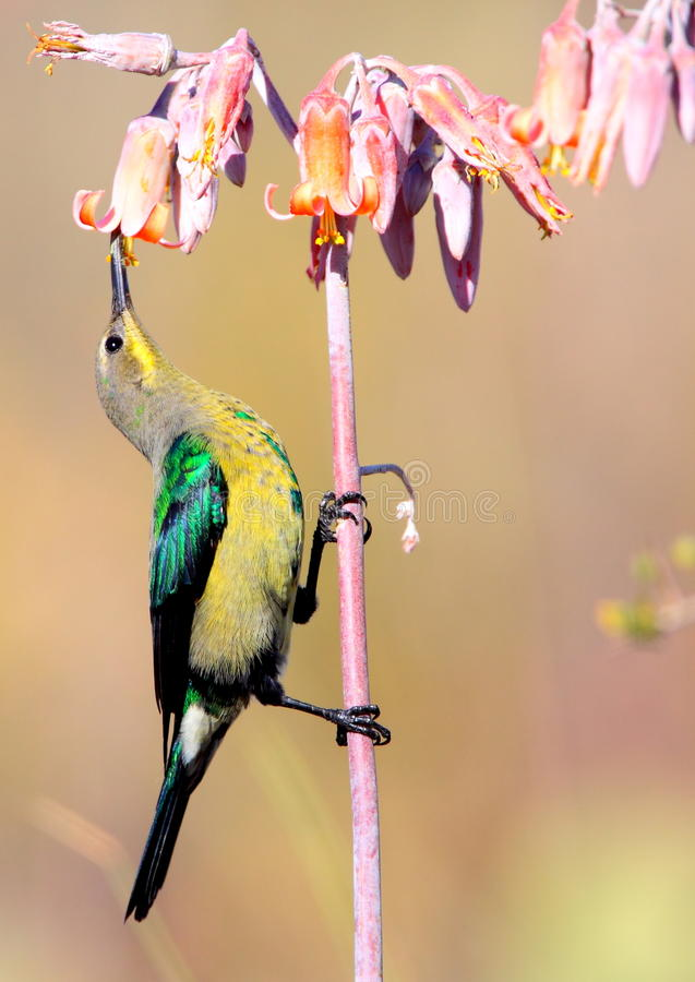 Malachiet Sunbird stock afbeelding