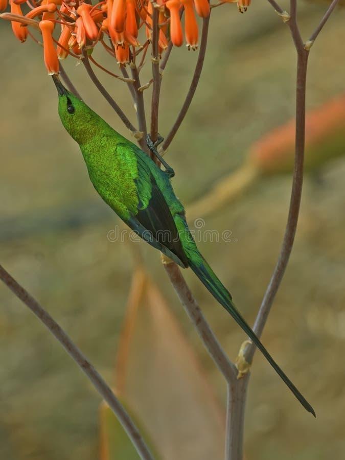 Malachiet Sunbird stock afbeeldingen