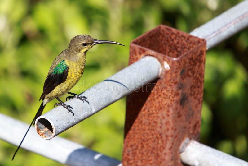 Malachiet Sunbird royalty-vrije stock afbeeldingen