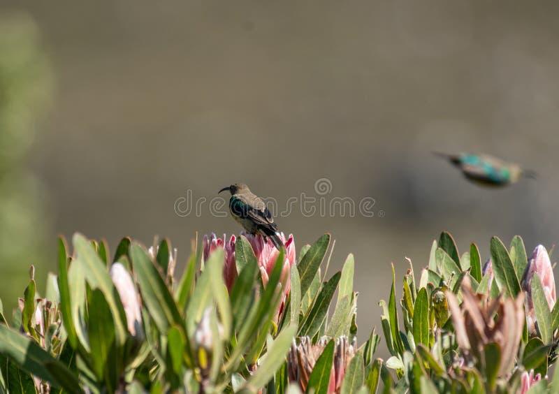Malachiet sunbird of Nectarinia-famosa stock afbeeldingen
