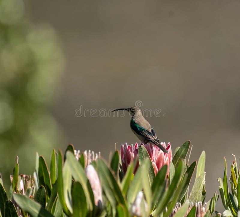 Malachiet sunbird of Nectarinia-famosa stock afbeelding