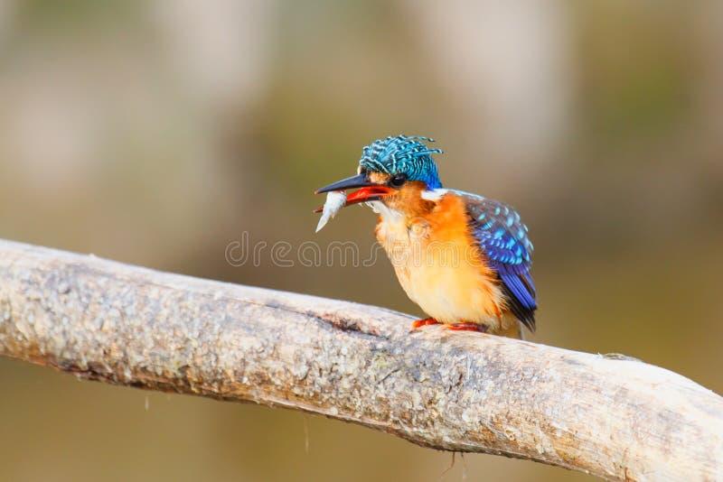 Malachietijsvogel in Ethiopië royalty-vrije stock foto's