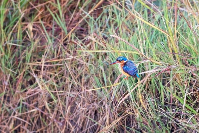 Malachietijsvogel in Masai Mara royalty-vrije stock foto