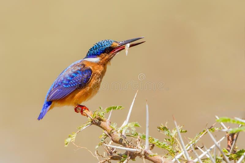 Malachietijsvogel met Visprooi royalty-vrije stock afbeeldingen