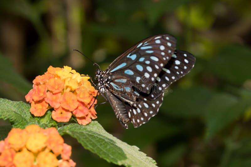 malachit的总和侧视图蹒跚而行与在玻璃温室拍摄的闭合的翼的蝴蝶 免版税库存图片