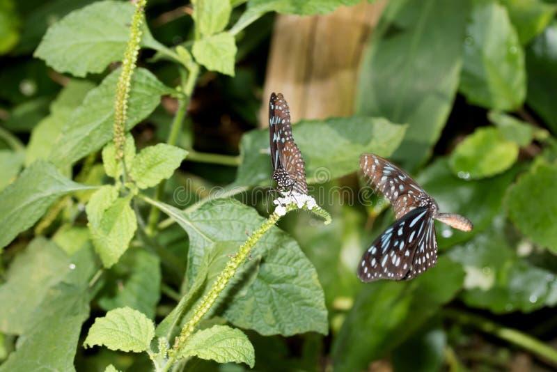 malachit的正面图蹒跚而行与闭合的翼的蝴蝶,并且飞行malachit蹒跚而行在玻璃温室拍摄的蝴蝶 库存图片