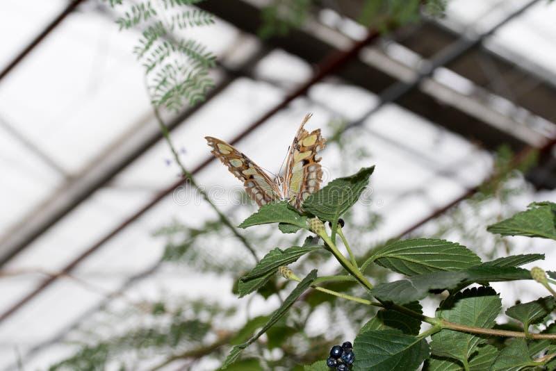 malachit的正面图蹒跚而行延长他的翼和坐一片绿色叶子 免版税库存照片