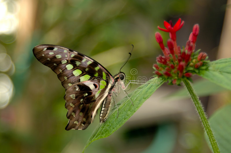 malachit motyla fotografia royalty free