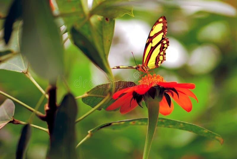 Malachite σίτιση πεταλούδων στο μεξικάνικο ηλίανθο στοκ φωτογραφία