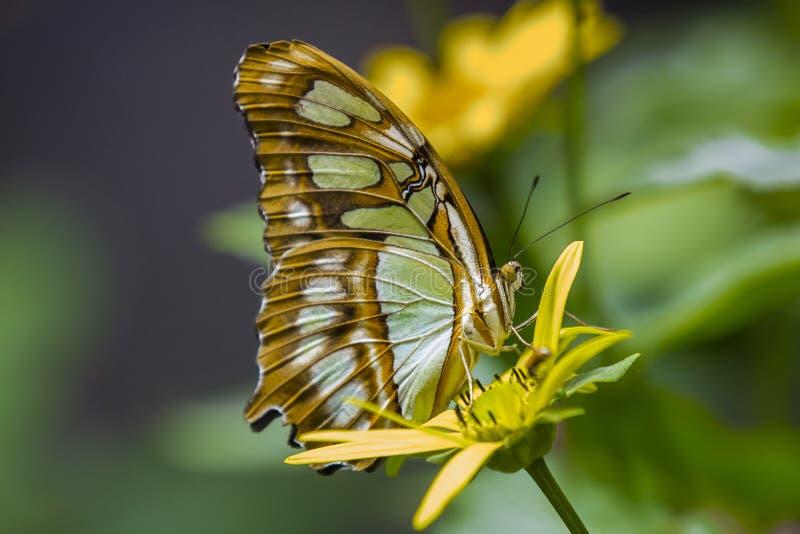 Malachite σχεδιάγραμμα πεταλούδων στοκ εικόνα με δικαίωμα ελεύθερης χρήσης