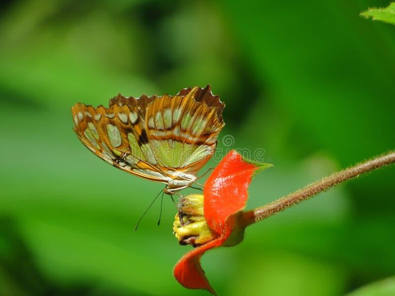 malachite fotografering för bildbyråer