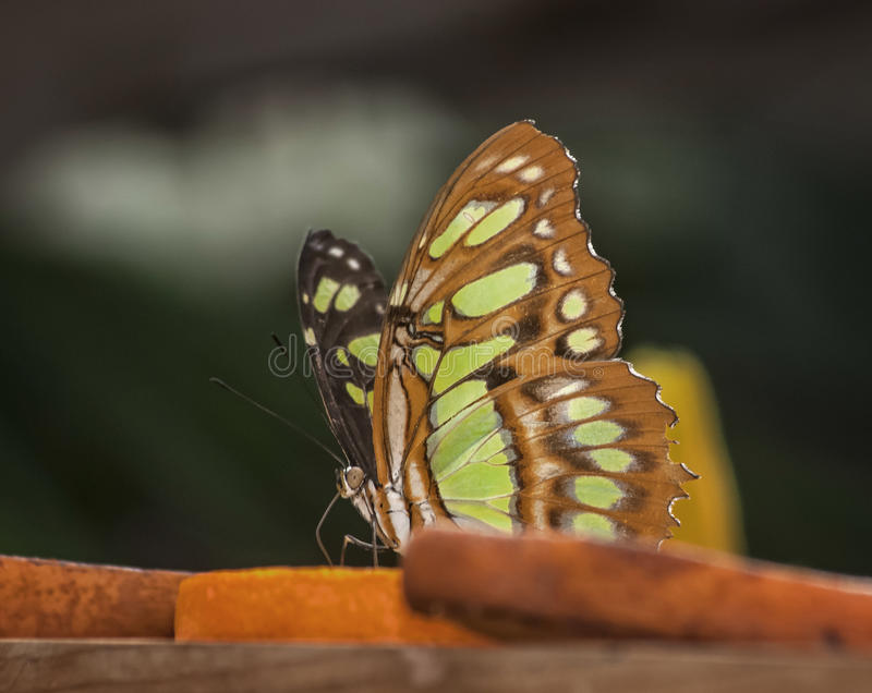 Malachite butterfly. The malachite is brightly a colored neotropical butterfly, black and green on the upper side and brown and green on the under side. we can stock photos