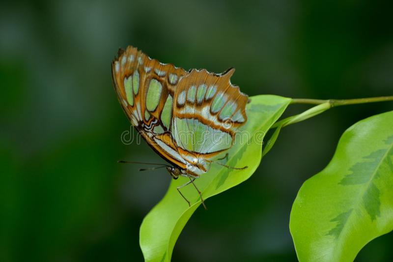 Malachite butterfly. Malachite green butterfly on a green leaf and blurred background stock photo