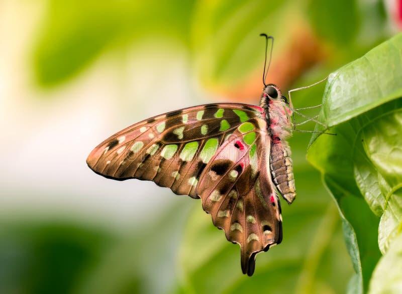 Malachite butterfly macro. Macro of a pretty malachite butterfly on a leaf stock photos