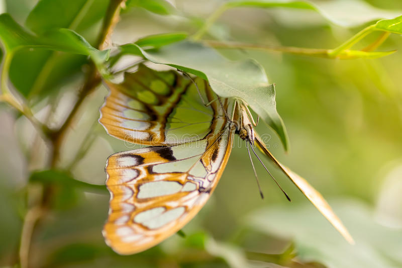 Malachite butterfly macro. Macro of a pretty malachite butterfly sitting on a leaf royalty free stock photos