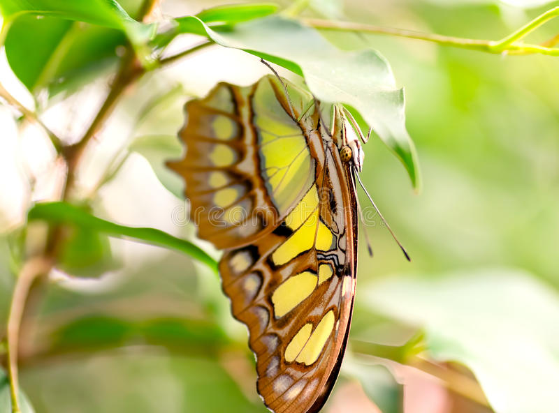 Malachite butterfly macro. Macro of a pretty malachite butterfly sitting on a leaf royalty free stock photography