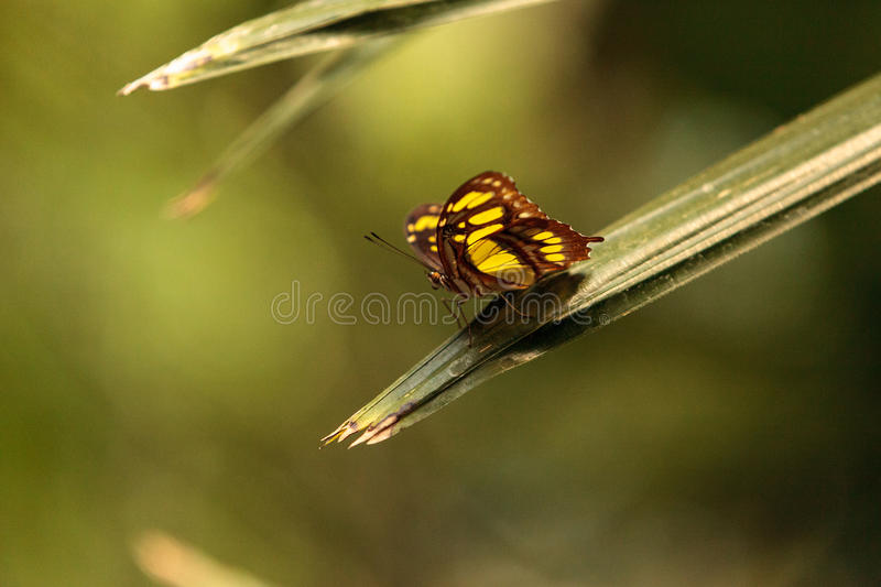 Malachite butterfly, Siproeta stelenes. In a botanical garden in spring royalty free stock photos