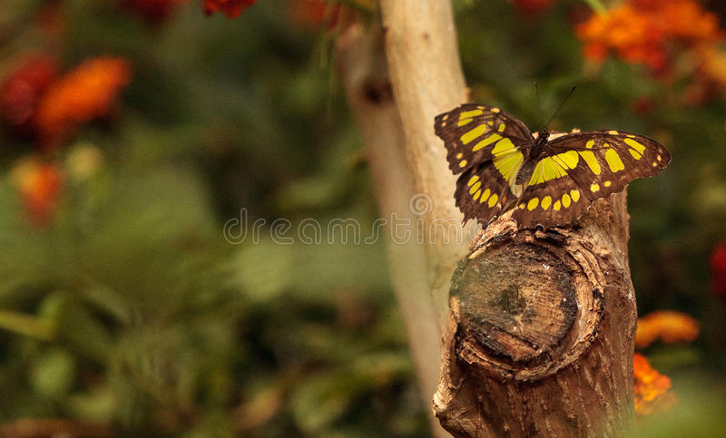 Malachite butterfly, Siproeta stelenes. In a botanical garden in spring royalty free stock photography