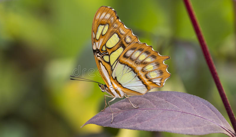 Malachite butterfly. Or siproeta stelenes on green background stock images