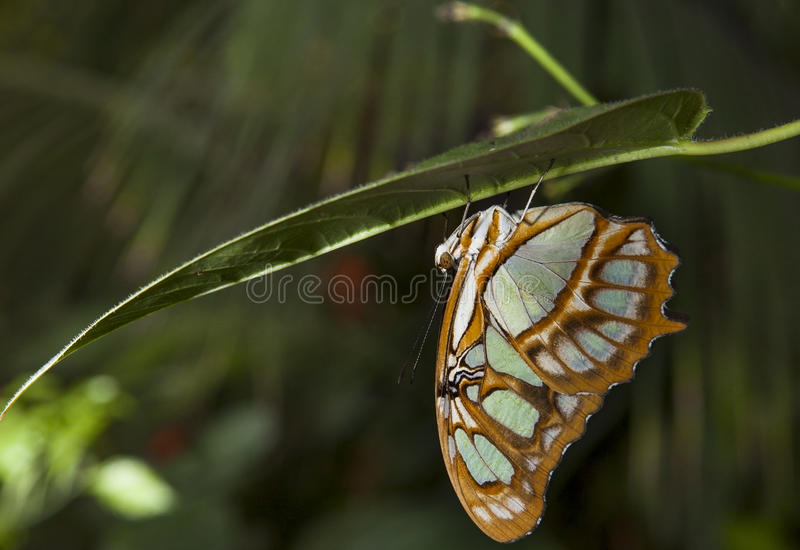 Malachite Butterfly. Or siproeta stelenes perched on a blade royalty free stock image